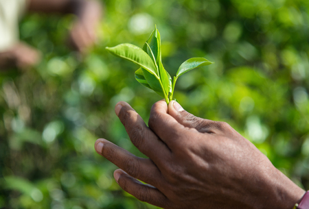 fairtrade: Hand with tea leaves against tea bushes