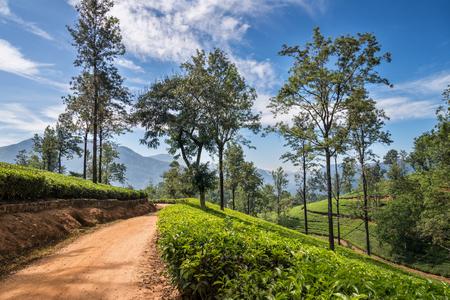 agriculture sri lanka: Tea plantation in sunny afternoon Stock Photo