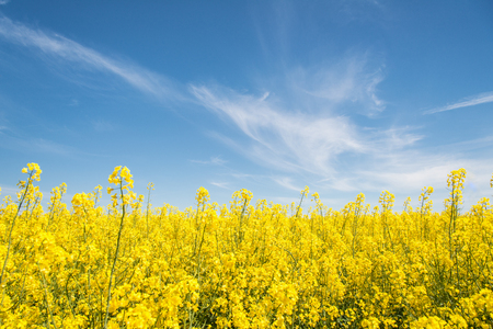 Yellow field of rapeseed flowers at summer noon