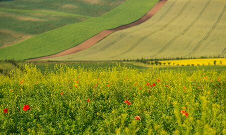 Colorful spring fields of Moravia, poppy flowers on foreground