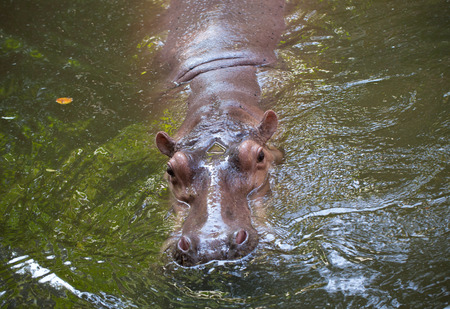 strongest: Hippopotamus the strongest animal
