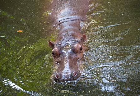 amphibius: Hippopotamus the strongest animal