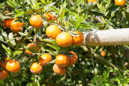 Oranges on tree photo