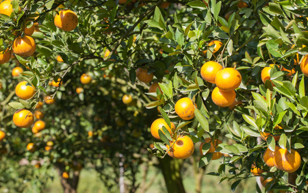 Fresh Oranges on tree photo