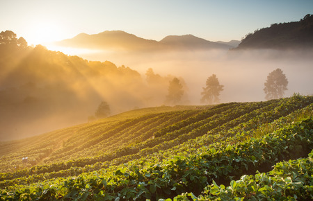 Morning sunrise in strawberry field at doi angkhang mountain, chiangmai, thailand