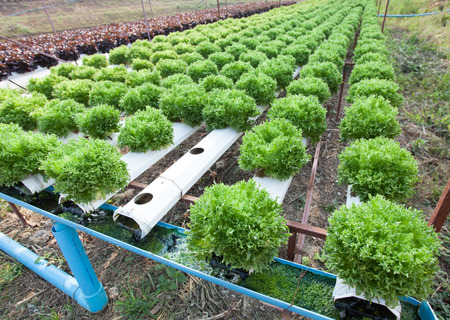 Fresh organic vegetable in hydroponic vegetable field  photo