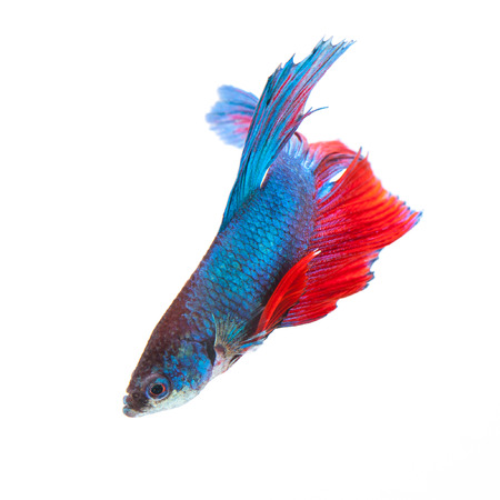 Siamese fighting fish isolated on white background. photo