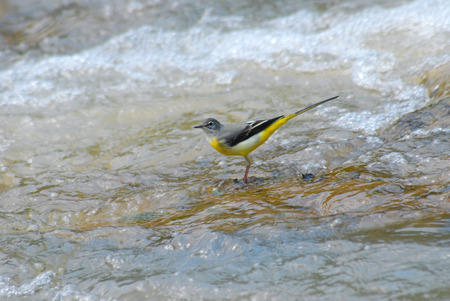 chordata: Grey Wagtail on the river.