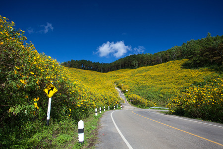 Road center of Yellow Mexican sunflower field at Maehongson, Thailand.