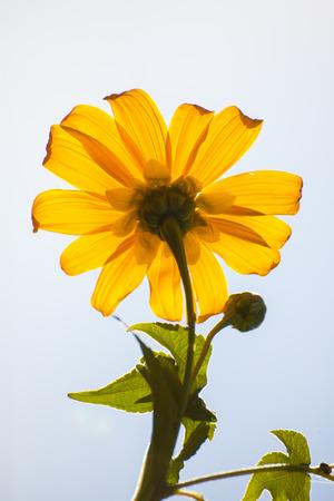 Geel Mexicaanse zonnebloem, Tithonia diversifolia.