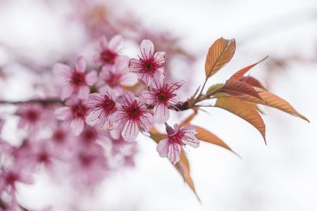 The beautiful Pink Sakura flower blooming. Standard-Bild