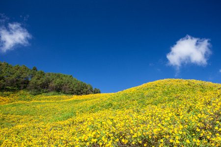 Yellow Mexican sunflower field at Maehongson, Thailand. Standard-Bild