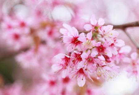 De mooie Roze Sakura bloemen bloeien.