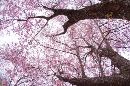 De mooie Roze Sakura boom.
