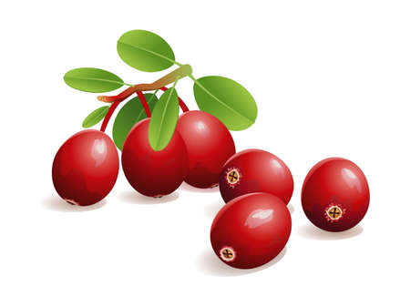 cranberry fruit: Realistic vector illustration of fresh cranberries, with leaves.