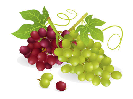 Realistic vector illustration of white and purple grapes, with vines.
