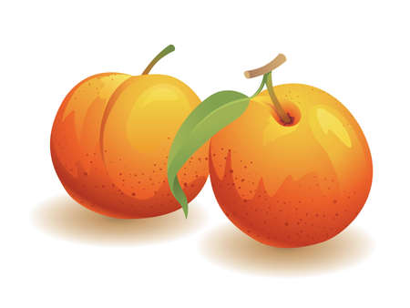 Realistic vector illustration of two peaches. Illustration