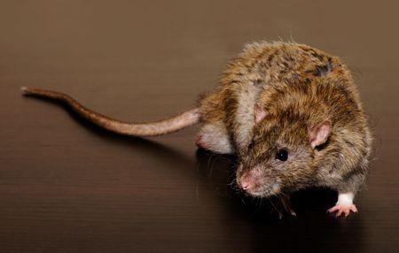 Eine Ratte, isolated on black  Standard-Bild - 7151060