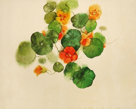 nasturtium, painted in watercolor