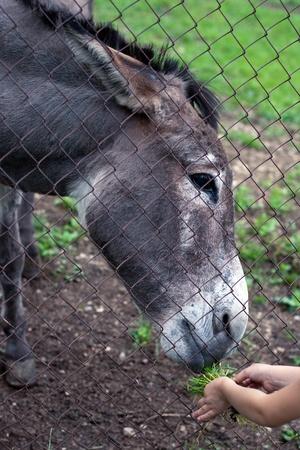 feeding through: Child feeding a donkey through the mesh fence