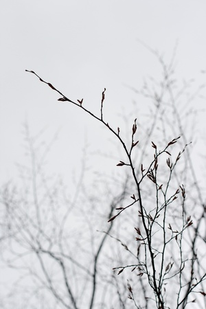 branches of a tree without leaves in spring on white background photo