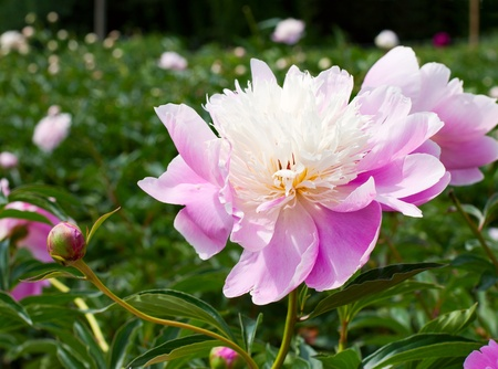 floriculture: Big pink peony flower in the garden