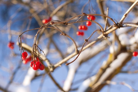 viburnum berries in winter. winter day. January photo