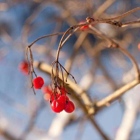 viburnum berries in winter. winter day. January photo