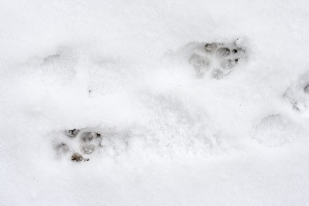 Dog tracks on snow