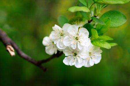 albero di mele: fiore di melo