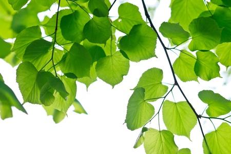 Fresh Spring Leaves photo