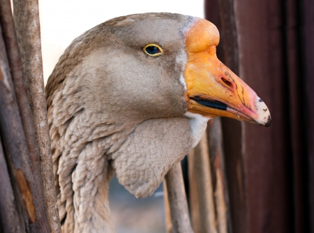 palmiped: Macro portrait of young grey goose Stock Photo
