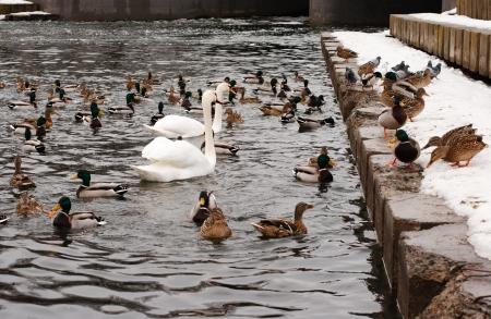 mallard ducks and white swans photo