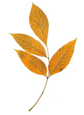 ash tree: foglia di frassino isolato sul bianco Archivio Fotografico
