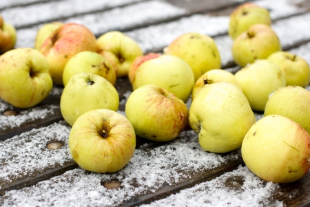 Apple on snow  First frost  Stock Photo