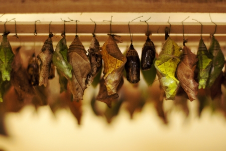 evolving: pupa waiting time of his transformation into butterflies