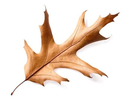 hojas secas: hojas secas de roble aislado en el fondo blanco, trazado de recorte incluidos