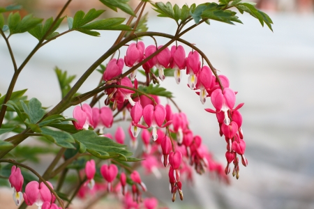 Bleeding heart flowers (Dicentra spectabils). Shallow DOF photo