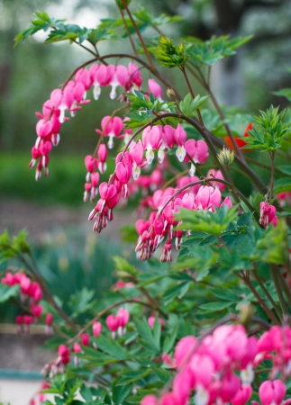 Bleeding heart flowers (Dicentra spectabils). Shallow DOF