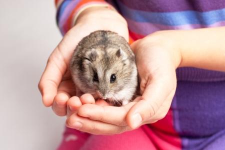 russian hamster: Djungarian hamster in girl hand