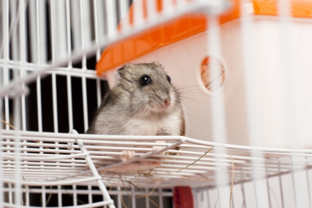 russian hamster: Djungarian hamster in a cage Stock Photo