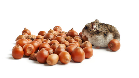 russian hamster: hamster sits surrounded by acorns on white background