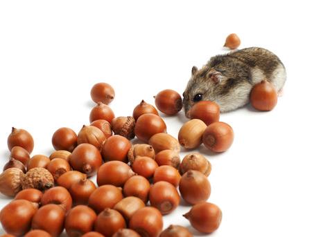 hamster zit omgeven door eikels op een witte achtergrond Stockfoto