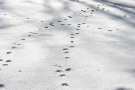 Dog footprints at the snow in winter photo