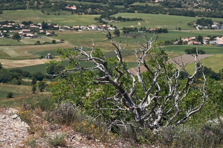 Dead trees and dry in Provence. France