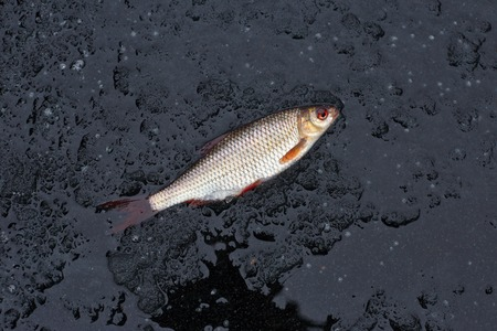 winter fishing. perch fish on black ice. Stock Photo