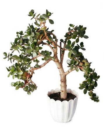 crassula: Crassula tree isolated on a white background