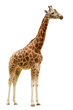 reticulated giraffe: Giraffe isolated on white background  Close up Stock Photo