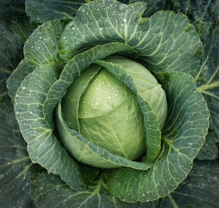 cabbage patch: Cabbage growing. Top view Stock Photo
