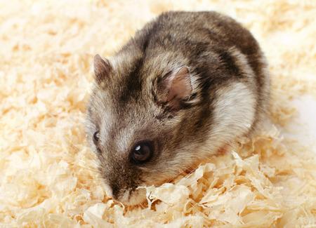 sawdust: Djungarian hamster in sawdust